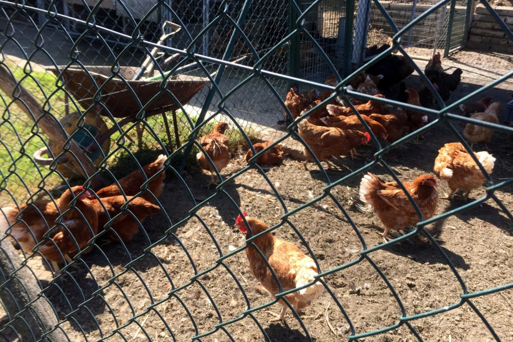 Can Jubany Chickens